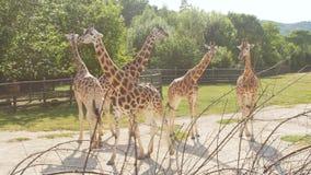 Чехия, Прага 16, июнь 2017 Aviary с жирафами на зоопарке Праги сток-видео