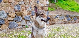 Чехословацкий щенок wolfhound стоковая фотография rf