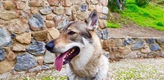 Чехословацкий щенок wolfhound стоковое изображение