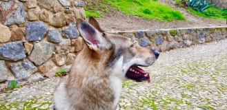 Чехословацкий щенок wolfhound стоковые фото