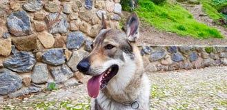 Чехословацкий щенок wolfhound стоковое фото rf