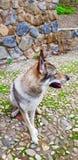 Чехословацкий щенок wolfhound стоковая фотография
