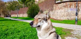 Чехословацкий щенок wolfhound стоковые изображения