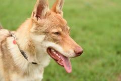 Чехословакский портрет волка Стоковые Фото