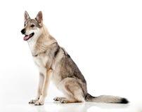 Чехословацкая гибридная собака волка Стоковые Изображения RF
