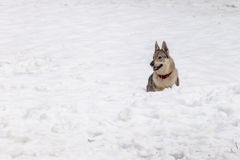 Чехословацкая собака волка в снеге Стоковое фото RF