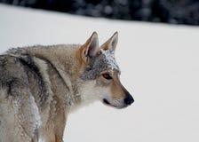 чехословацкая собака волка Стоковое Изображение