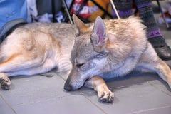 Чехословацкое Wolfdog Стоковые Изображения