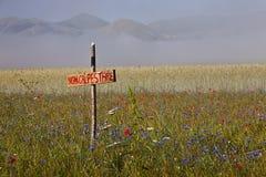 Чечевица цветя в Castelluccio di Norcia Тысячи цветов Стоковое Фото