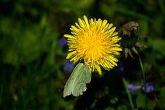 Чешуекрылые на цветке стоковые изображения rf