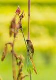 Чешуистое-breasted Munia Стоковое фото RF