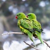 Чешуистые-breasted lorikeets Стоковые Изображения RF