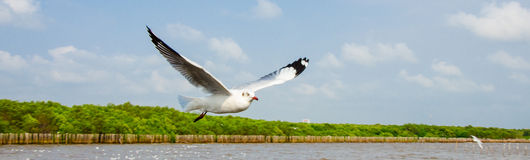 Челка Poo, Таиланд: Летание чайки. стоковое фото