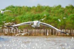 Челка Poo, Таиланд: Летание чайки стоковые изображения rf