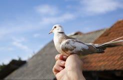 Человек держа голубя в его руке Стоковая Фотография RF