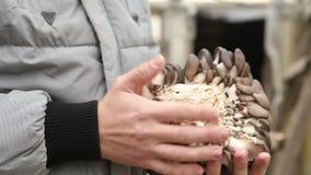 Человек держа грибы большие устрицы сток-видео