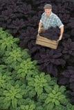Человек держа клеть полный фиолетовой листовой капусты Стоковая Фотография