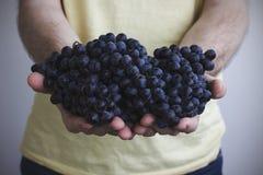 Человек держит в его руках группы зрелых виноградин Стоковое Фото