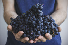 Человек держит в его руках группы зрелых черных виноградин Стоковая Фотография