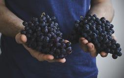 Человек держит в его руках группы зрелых черных виноградин Стоковое фото RF