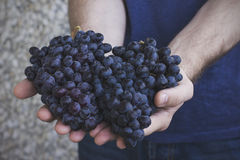 Человек держит в его руках группы зрелых черных виноградин Стоковое Фото