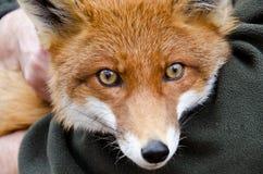 Fox Стоковое Изображение