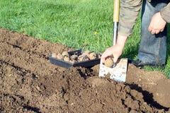 Человек засаживая картошки в саде Стоковые Изображения