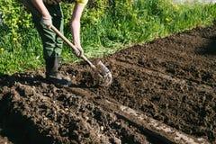 Человек засаживая картошки в стране Стоковая Фотография