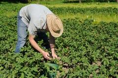 Человек извлекает larvaes жука картошки Колорадо Стоковое фото RF