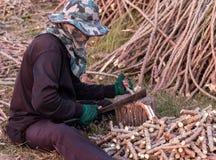 Человек используя нож к прерванному дереву кассавы Стоковая Фотография