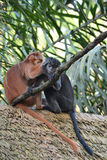 Человек-лицые обезьяны Стоковое Изображение