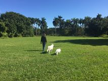 Человек и его 2 белых собаки чабана Стоковое фото RF
