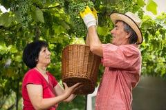 Человек и женщина работая в винограднике Стоковое Фото