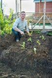 Человек культивирует саженцы капусты Стоковые Изображения RF