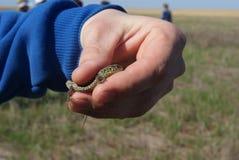 Человек добросердечно держа с голыми руками детеныш запятнал или наблюдал ящерицу, lepidus Timon, бывшим lepida ящерицы Стоковая Фотография RF