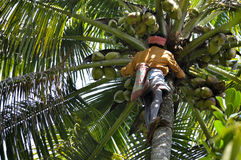 Человек общипывая кокос от кокосовой пальмы стоковая фотография rf