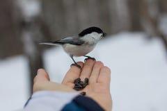 Человек подавая птица от руки Стоковая Фотография
