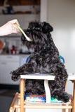 Человек подавая смешной шнауцер собаки как младенец Стоковое Изображение RF
