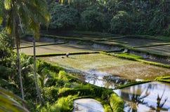 Человек плантаций риса Бали не узнаваемый стоковая фотография