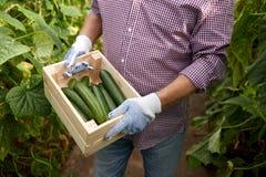 Человек с коробкой огурцов на парнике фермы Стоковые Фотографии RF