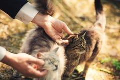 Человек утюжит котов стоковое изображение rf