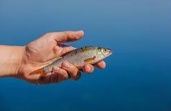Человек Fisher держа в его руке уловил, рыбы реки Стоковые Изображения