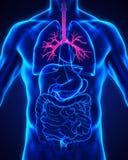 Человеческая анатомия бронха Стоковое Изображение RF