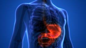 Человеческая анатомия живота пищеварительной системы Стоковое фото RF