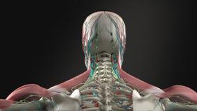 Человеческая анатомия показывая вращение головы, шеи и плеч бесплатная иллюстрация