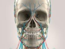 Человеческая анатомия показывая голову, нос, сторону на светлой предпосылке стоковое фото rf