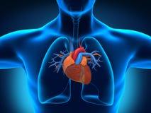 Человеческая анатомия сердца Стоковые Изображения