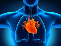 Человеческая анатомия сердца Стоковое Изображение RF