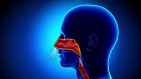 Человеческая анатомия синусов - грипп - полный нос иллюстрация вектора