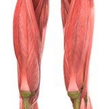 Человеческая анатомия тела мышцы (ноги) Стоковое Изображение